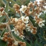 Loquat in flower